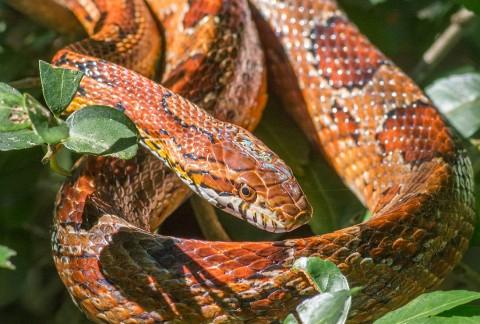 corn snake 2