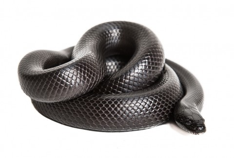 mexican king black snake 2